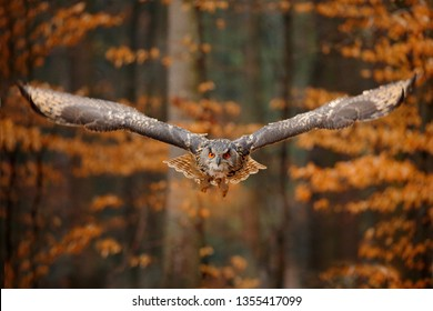 Eagle Owl, Bubo bubo, with open wings in flight, forest habitat in background, orange autumn trees. Wildlife scene from nature forest, Russia. Bird in fly, owl behaviour. Face arrive from forest.