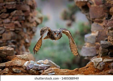 Eagle Owl, Bubo bubo, with open wings in flight, urban stone wall habitat in background. Wildlife scene from nature, Germany. Bird in fly, owl behaviour. Forest owl in fly.