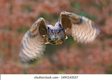 Eagle Owl, Bubo bubo, with open wings in face flight, forest habitat in background, orange autumn trees. Wildlife scene from nature forest, Germany. Bird in fly, owl behaviour. Forest owl in fly.