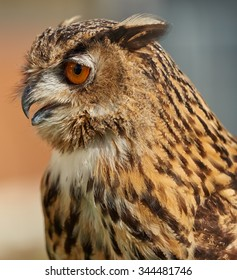 Eagle owl close up looking left