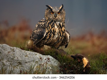 Eagle Owl with cought marten prey, sitting on rock with distant colorful taiga background