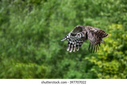 Eagle owl in flight against green background