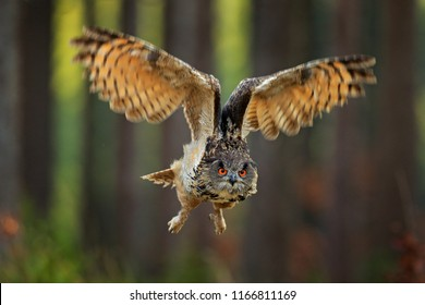 Eagle Owl flying with open wings, action wildlife scene from nature, Russia. Dark forest with bird. Owl in forest habitat, tree stump. Animal behaviour, owl hunting in the wood, big orange eye.