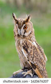 eagle owl, nocturnal bird of prey in Italy