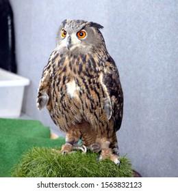 Eagle Owl. Portrait of a bird of prey
