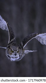 Eagle owl is predatory bird