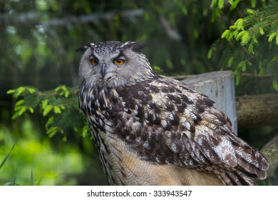 An eagle owl sittter in a Swedish zoo and looking at photographer