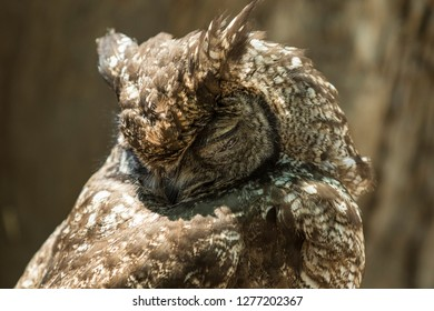 Eagle owl sleeping with its head resting on its back in warm sunshine