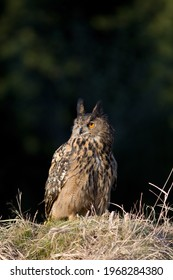 The eagle owl in spring nature - Shutterstock ID 1968284380