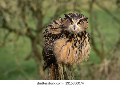An eagle owls feeling threatened so it fluffs or ruffles its feathers and is facing forward