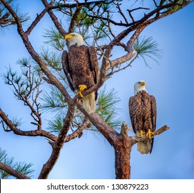 eagle pair in Florida