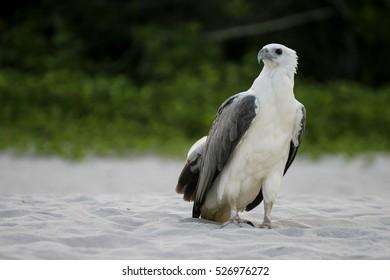 Eagle at Perhentian Island, Terengganu, Malaysia.