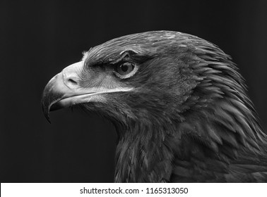 eagle portait in black and white.