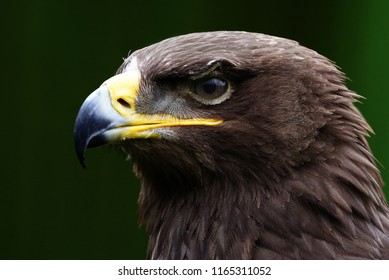 Eagle portait with natural background.