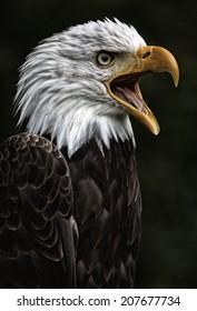 Eagle portrait