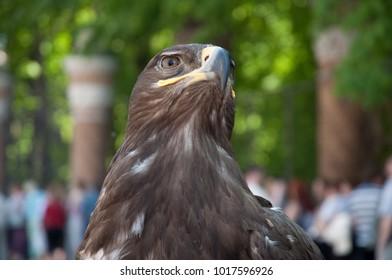 eagle portrait close