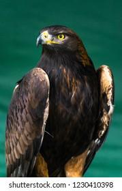 Eagle portrait in the florest