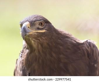 eagle portrait on nature