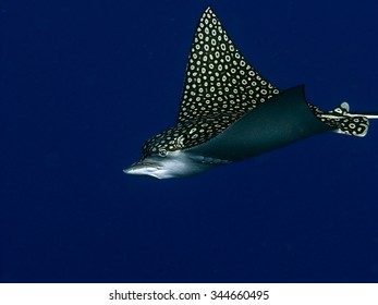 An eagle ray (Aetobatus narinari) swimming along a Caribbean Wall
