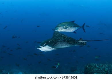 Eagle Ray and Bluefin Trevally