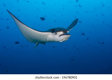Eagle ray flying underwater