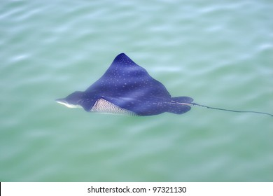 Eagle ray in the sea. Eagle ray floats on the surface of the sea
