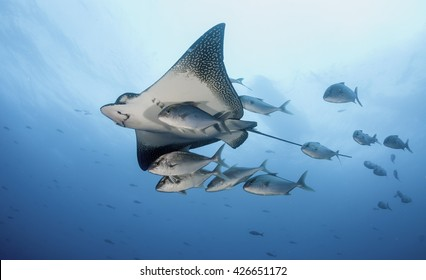 Eagle ray swimming with a small school of jack fish, Galapagos Islands, Ecuador