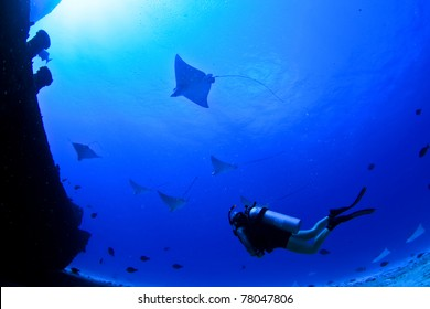 eagle rays and a scuba diver on a wreck in mexico