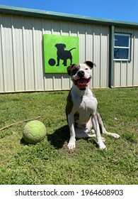 Eagle Rock, Mo, USA, 4-19-2021: happy brindle coated Staffordshire terrier canine sits by the ball in the grass looking at camera with smiling face and tongue out in front of colorful dog artwork