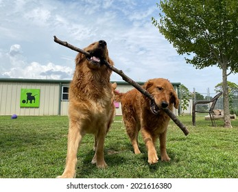 Eagle Rock , Mo, USA, 7-25-2021: two purebred golden retriever dogs carry stick together outside in the grass play yard at the fear free daycare boarding and positive reinforcement training center