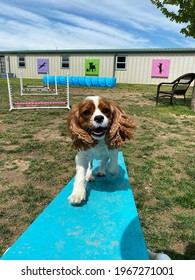 Eagle Rock,Mo,USA, 5-1-2021: King Charles spaniel puppy dog climbing the agility teeter totter with happy expression on cute face at sunny canine enrichment Positive reinforcement training center