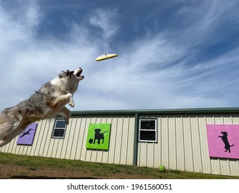 Eagle Rock,Mo,USA,4-22-2021: young athletic Blue Merle Australian shepherd dog soaring through the air playing and catching flying disk with beautiful colorful canine artwork in background