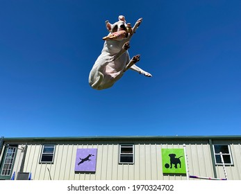 Eagle Rock,Mo,USA,4-5-2021: champion athletic little white dog jumping through the air against blue sky playing and catching squeaky toy at canine enrichment center with artwork on wall in background