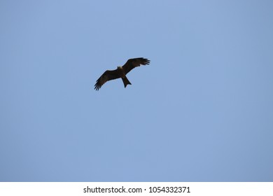 Eagle in the sky flying with a blue background