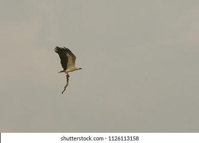 Eagle and snake. An eagle caught a venomous snake
