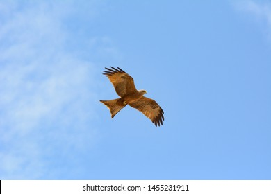Eagle soaring in flight framed against the blue skies of the Kruger national park south africa