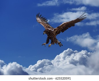 The eagle soars above the clouds high in the blue sky hunting