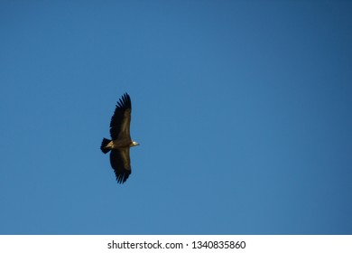 Eagle soars in the blue sky