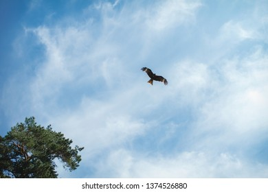 eagle soars in the clouds, against the blue sky.