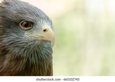 Eagle standing and looking at you with his one eye.