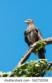 Eagle standing on a tree branch with blue sky.