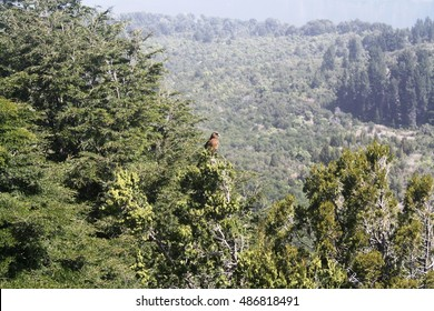Eagle in the tree canopy.