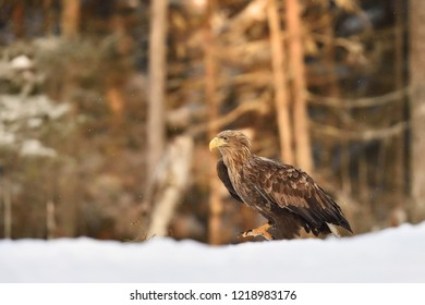 Eagle walking on snow at sunrise