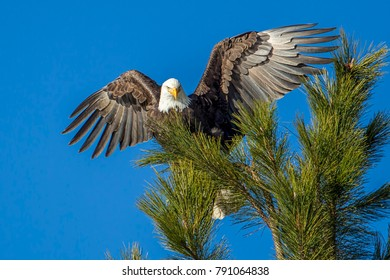 Eagle with wings spread wide at the top of a tree spreads its wings near Coeur d'Alene, Idaho.