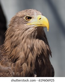 Eagle with yellow beak close up view from right side president