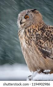 Eagle-owl, lat. Bubo bubo, sitting on stump in winterstorm
