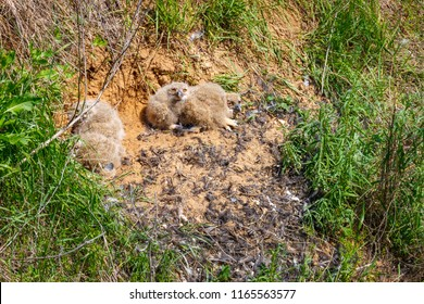 The eagle-owl nest (binomial name Bubo bubo) on the hillside with four nestlings. Russia, Rostov-on-Don region.