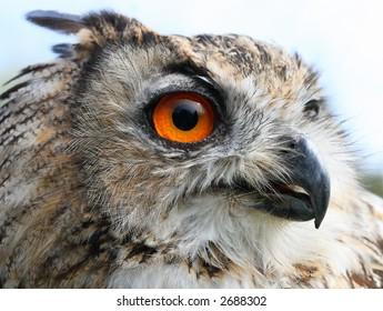 Eagle-owl portraiture.