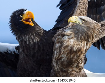 Eagles in fight. Steller's sea eagle fight vs White tailed eagle.