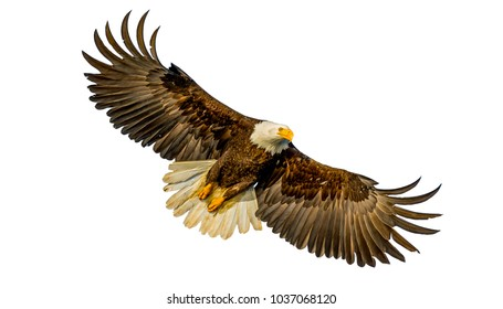 Eagles fly in the sky, white background.